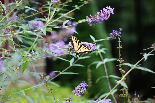 Blowing Rock butterfly | Two Delighted