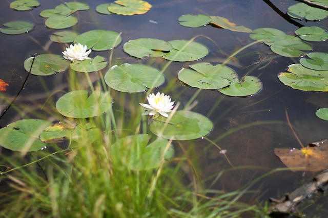 Blowing Rock lilypads | Two Delighted