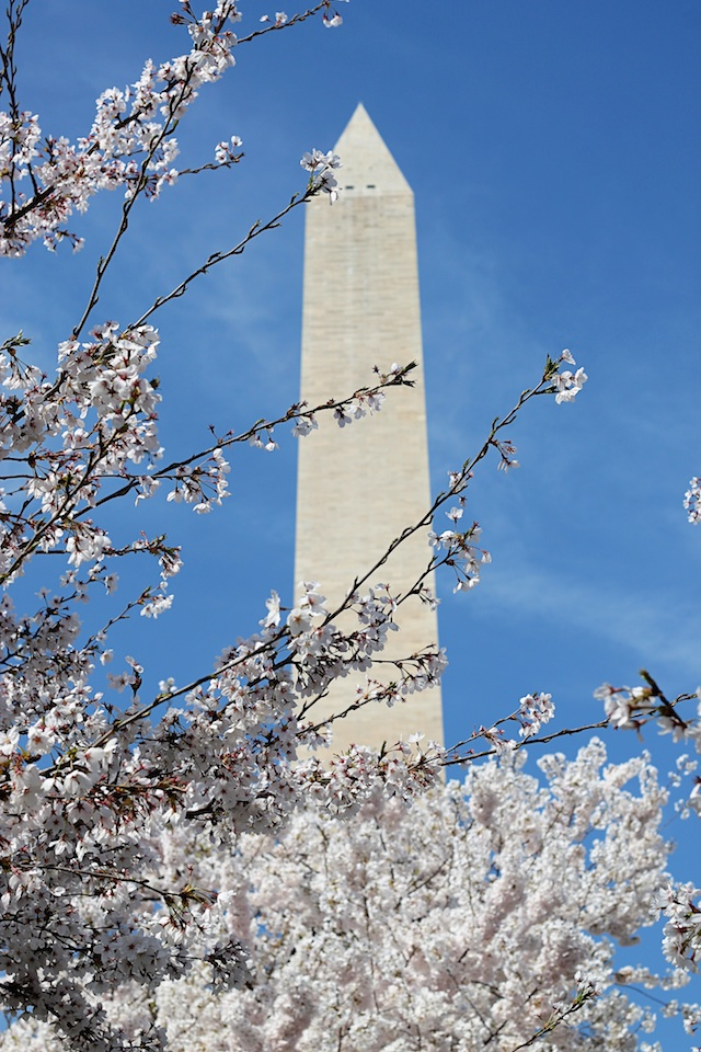 washington with blossoms | Two Delighted
